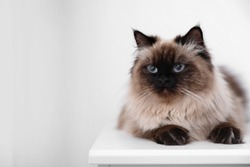 Cute Balinese cat on table at home, space for text. Fluffy pet