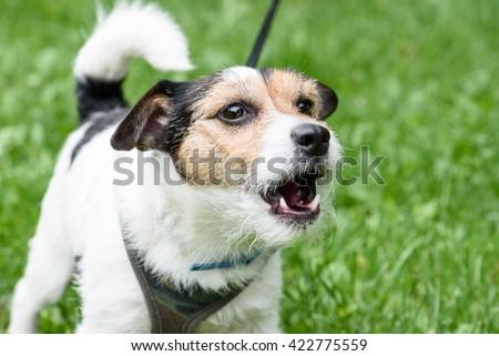 Cute barking dog not aggressive on leash