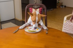 Cute basenji dog is liking plate with lestovers that master left after nice lunch in dining room