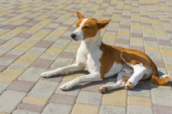 Cute basenji dog with broken bandaged hind feet lying on a pavement and relaxing at first sunny day after the surgery