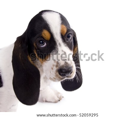 cute basset hound puppy #52059295