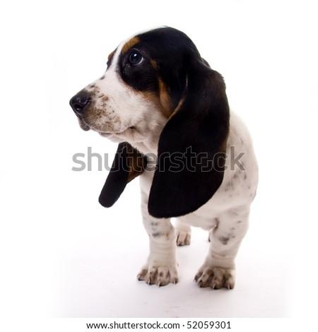 cute basset hound puppy