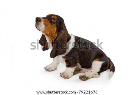 Cute basset puppy on white background - studio shot.