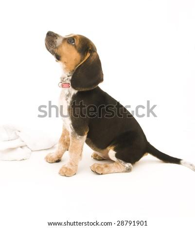 Cute Beagle Looking Up