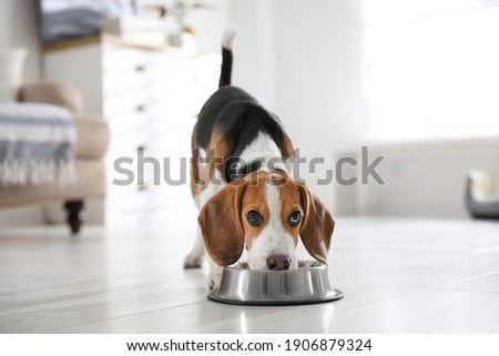 Cute Beagle puppy eating at home. Adorable pet