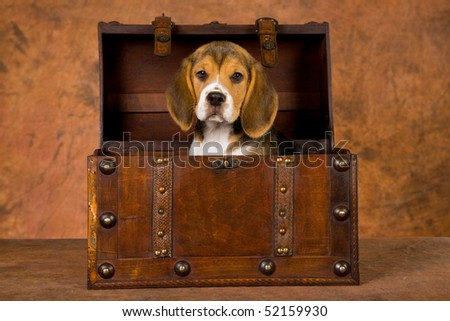 Cute Beagle puppy in chest on brown mottled background - stock photo