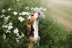 Cute beagle puppy in daisies