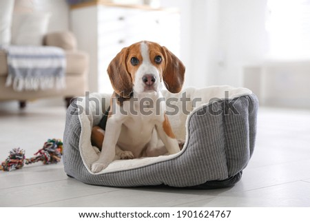 Cute Beagle puppy in dog bed at home. Adorable pet Stockfoto ©