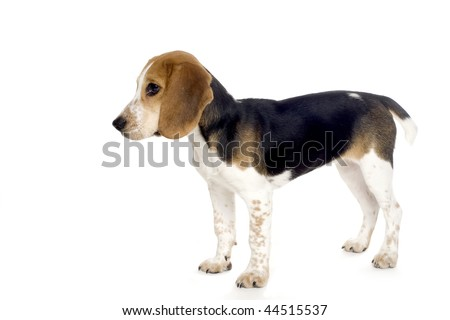 Cute beagle puppy in profile.