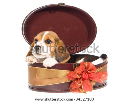 Cute Beagle puppy inside round gift box, on white background