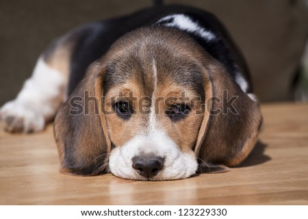 Cute beagle puppy looking