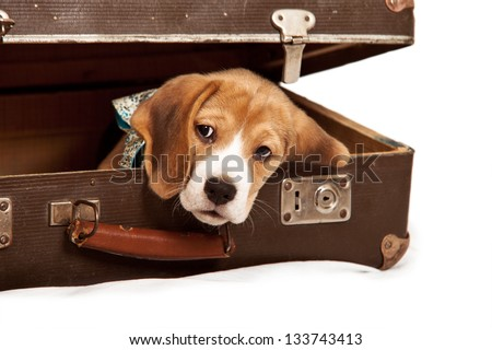Cute beagle puppy looking out from the old suitcase