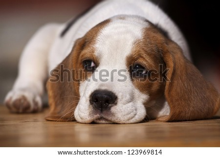 Cute beagle puppy lying on the wood