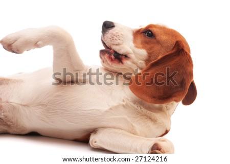pictures pocket beagles mini beagles toy beagles tea cup beagles