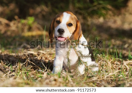 cute Beagle puppy 3 months plays with bough in the forest in the evening