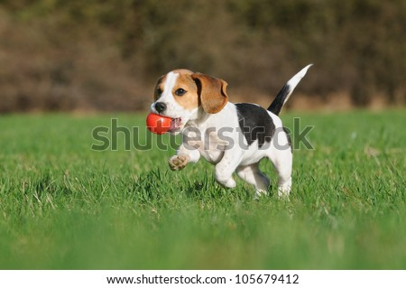 cute Beagle puppy 3 months running happy over the meadow with a red ball #105679412