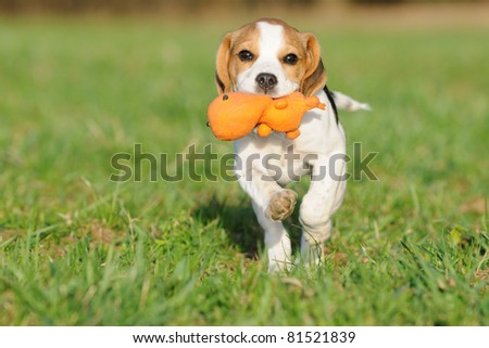 cute Beagle puppy 3 months running over the meadow with toy