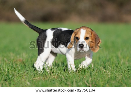 cute Beagle puppy 3 months stands in the meadow