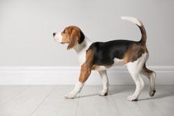 Cute Beagle puppy near light wall indoors. Adorable pet