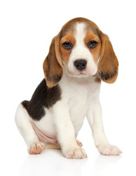 Cute Beagle puppy on white background