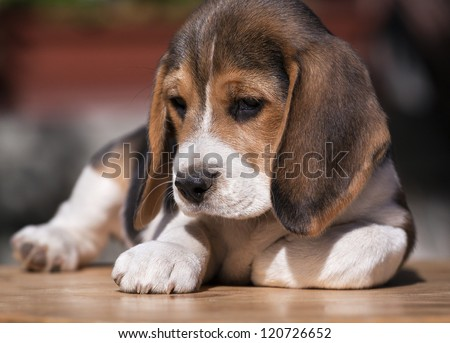 Cute beagle puppy relaxing