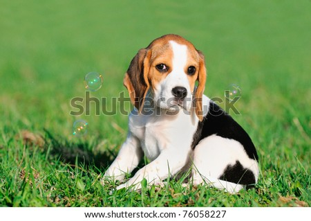 cute Beagle puppy 8 weeks sitting in grass with soap bubbles