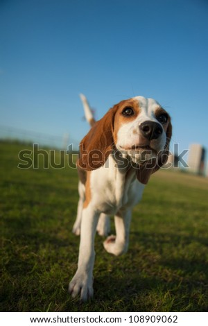 Cute Beagle Walking in a Grassy Park on a Beautiful Sunny Day