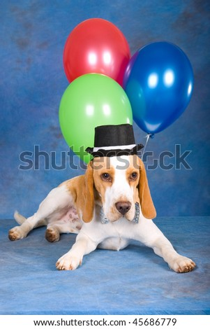 Cute Beagle with black top hat and balloons on blue background