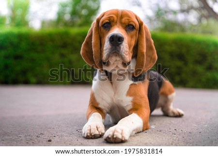 Cute beagle with serious face is lying on asphalt path outside during walk in city park, blurred background with green bushes and trees, front view. Portrait of lovely dog. Zdjęcia stock ©