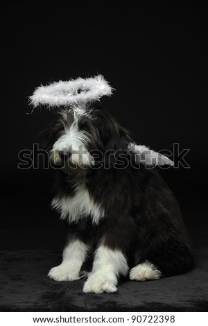 Cute bearded collie puppy with feather halo and angel wings, Vertical