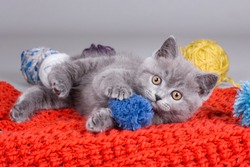 cute beautiful British shorthair cat is playing in the basket. Smiling expression, happy.  Copy space.