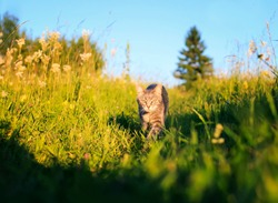 cute beautiful striped kitten fun and rushing through the green summer meadow playing
