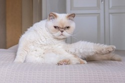 Cute beige domestic cat funny extended its paw and mused