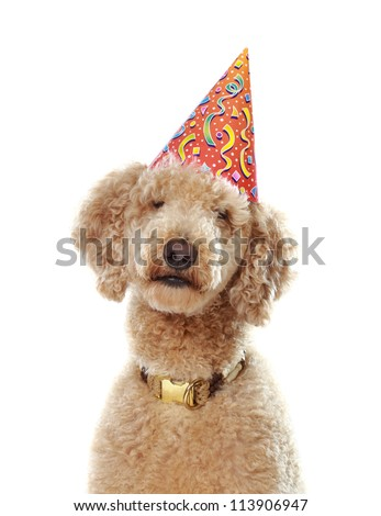 cute beige poodle wearing party hat, white background