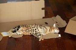 Cute bengal cat lying on carton box