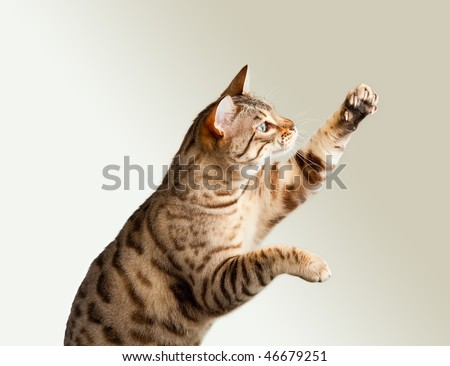 Cute bengal cat reaching up for unknown object and showing its claws