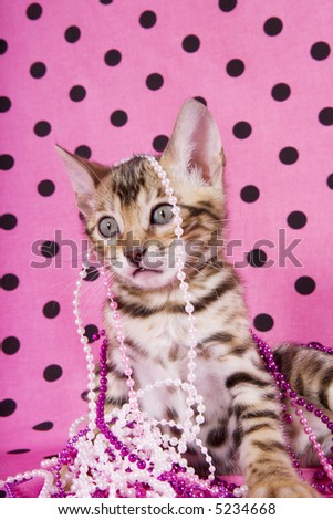 Cute Bengal kitten playing in pink party beads on pink polka dotted background
