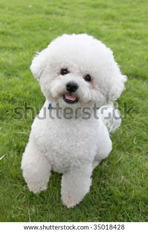 Cute Bichon Frise lifts a paw to Beg