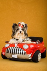 Cute Biewer puppy with leather jacket in red toy car