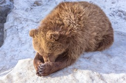 Cute big brown bear playing and hiding something with his paws