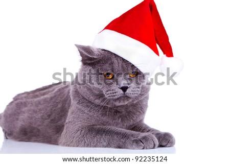 cute big english cat wearing a santa hat on white background