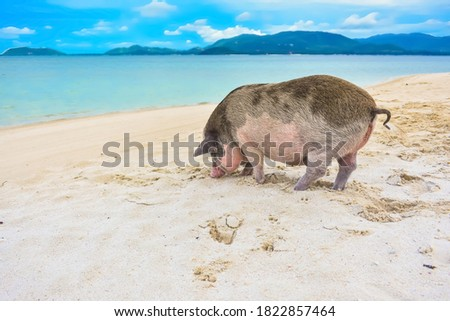 Cute big pig was standing in front of the sea and looking for food on the sand beach at Madsum island, Thailand. Popular pig on seaside in paradise island. Travel in summer. Boar and scenery of sea.