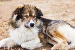 cute big shaggy dog laying on the ground and looking forward. serious furry dog brown, white and grey coloured. vet clinic, shelter adoption or dog sitting concept.