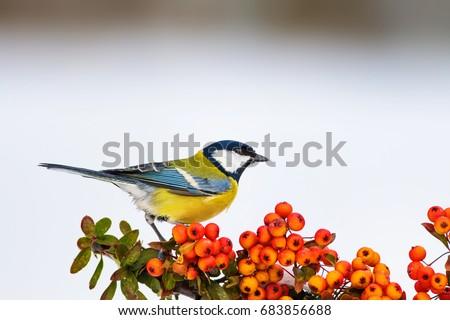 Cute bird. Bird on branch. White snow background. Plant; Scarlet firethorn Great Tit / Parus major  #683856688