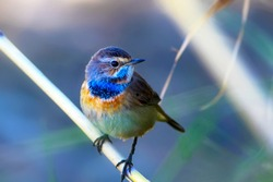 Cute bird. Colorful natural background. Bird: Common bird Bluethroat. Luscinia svecica.