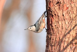 Cute bird feathers beak white breasted nuthatch gray wings dark eyes clinging brown tree attractive vivid blue sky background cold sunny winter afternoon Nottingham Maryland USA