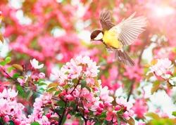 cute bird tit flies waving her wings to a blooming spring Apple tree branch in may