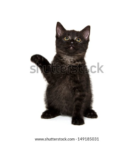 Cute black American shorthair kitten playing on white background