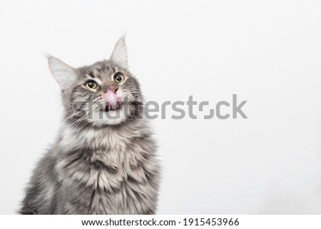 Cute black and grey kitten maine coon sitting, looking up and licking its lips waiting for yummy isolated on white background
