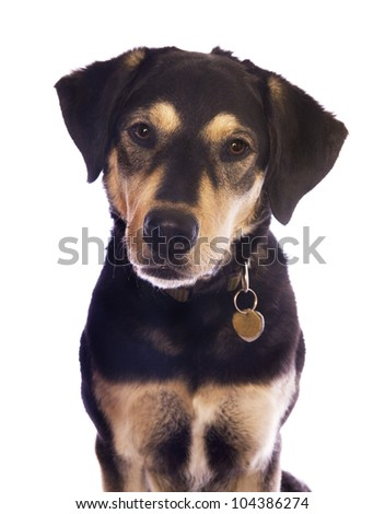 Cute black and tan dog with tags on collar head shot isolated on white